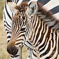 Zebra Foal by Chris Scroggins