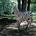 Zebra Forest 2 by Photos By  Cassandra