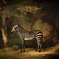 Zebra by Mountain Dreams