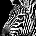 Zebra by Gunnar Orn Arnason