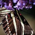 Zebra Heliconian Heliconius Charithonia by Henrik Lehnerer