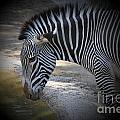Zebra I by Chuck Kuhn