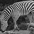 Zebra In Black And White by Kate Brown