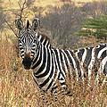 Zebra In Serengeti by Nature and Wildlife Photography