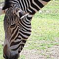 Zebra by Jamie Ramirez
