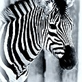 Zebra by Kathleen Struckle