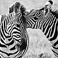 Zebra Kisses Bw by Andy Langeland