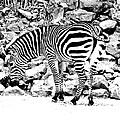Zebra by Lizi Beard-Ward