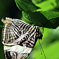 Zebra Long-wing Butterfly  by Optical Playground By MP Ray