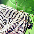 Zebra Long-wing Close-up by Optical Playground By MP Ray