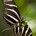 Zebra Longwing 3 by Photos By  Cassandra