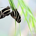 Zebra Longwing Butterflies Mating by Sabrina L Ryan