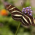 Zebra Longwing Butterfly by Adam Romanowicz