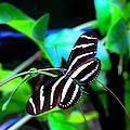 Zebra Longwing Butterfly by Gordon H Rohrbaugh Jr