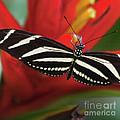 Zebra Longwing Butterfly by Heiko Koehrer-Wagner
