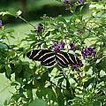 Zebra Longwing Butterfly On Flower by Aimee L Maher ALM GALLERY