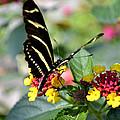 Zebra Longwing Butterfly by Richelle Munzon