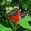 Zebra Longwing Ins 39 by G L Sarti