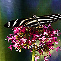 Zebra Longwing  by Photographic Art by Russel Ray Photos