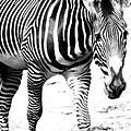 Zebra by Michelle Calkins