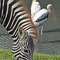 Zebra by Michelle Meenawong