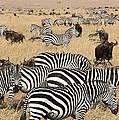 Zebra Migration Maasai Mara Kenya by Carole-Anne Fooks