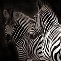 Zebra Night by Joseph G Holland