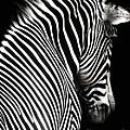 Zebra On Black by Elle Arden Walby