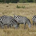 Zebra On Masai Mara Plains by John Shaw
