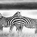 Zebra Panarama by Peter Williams