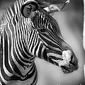 Zebra Profile In Black And White by Jill Battaglia