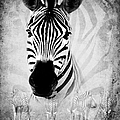 Zebra Profile In Bw by Ronel Broderick