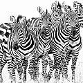 Zebra Quintet by Mike Gaudaur
