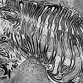Zebra - Rainy Day Series by Jack Zulli