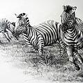 Zebra Running by Samantha Anne Hutchinson