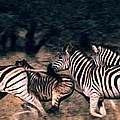 Zebra Stampede by Charlie Russell