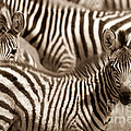 Zebra Stripes Galore by Chris Scroggins