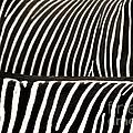 Zebra Stripes by Jackie Farnsworth
