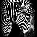 Zebra Strips by Elizabeth Kohler