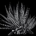 Zebra Succulent by Robert Woodward