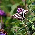 Zebra Swallowtail Butterfly In Garden by Karen Adams