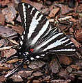 Zebra Swallowtail Butterfly by Karen Adams
