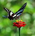 Zebra Swallowtail Butterfly On A Red Zinnia by Catherine Sherman