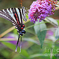 Zebra Swallowtail Butterfly On Butterfly Bush  by Karen Adams