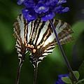 Zebra Swallowtail by Cindy Manero
