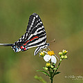 Zebra Swallowtail by Mike Fitzgerald