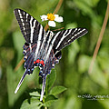 Zebra Swallowtail Top View by Mike Fitzgerald