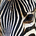 Zebra Vibrations by Charles Lupica
