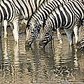 Zebras At Water Hole by Dennis Cox