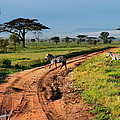 Zebras Cross The Road by Pat Tracey